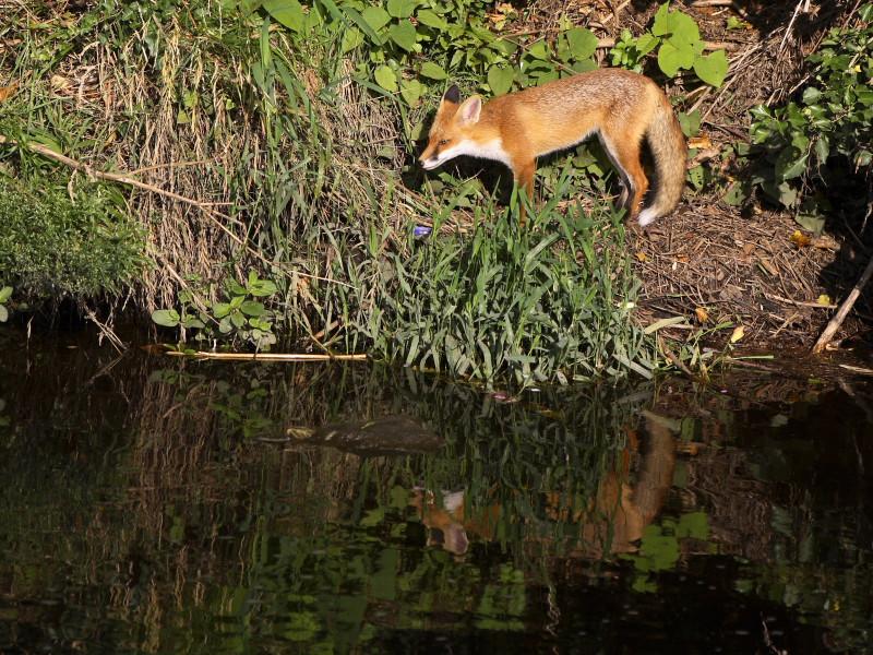 Dodder Fox